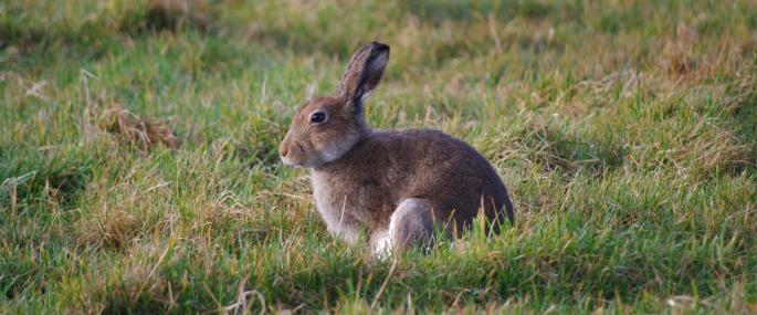 Irish hare - Ulster Wildlife Trust - Ulster Wildlife Trust