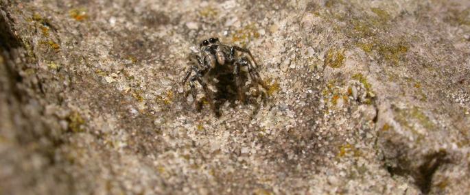 Zebra spider - Bruce Shortland - Bruce Shortland