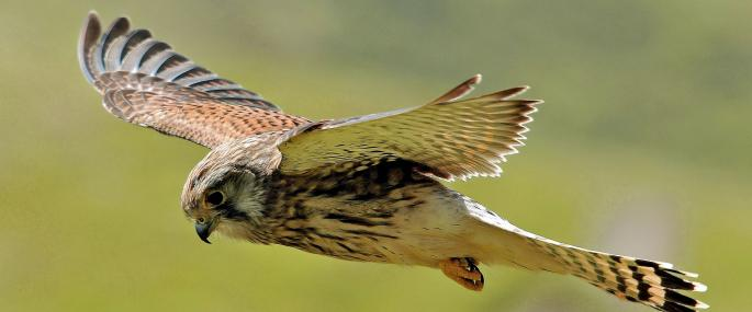 Hovering female kestrel - Steve Waterhouse - Steve Waterhouse