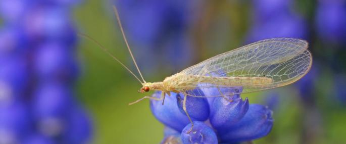 Common green lacewing - Rachel Scopes - Rachel Scopes