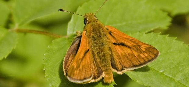 Large skipper butterfly sunning itself - Paul Lane - Paul Lane