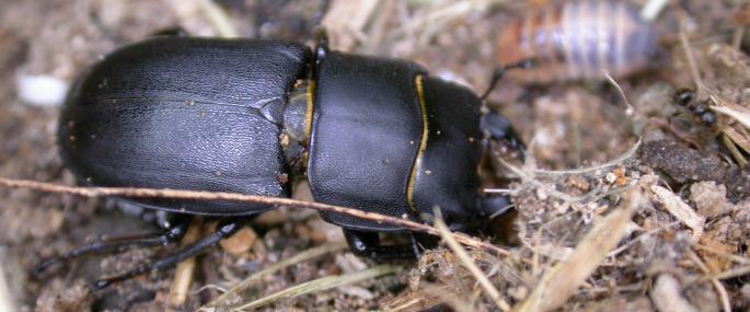 Lesser stag beetle - Bruce Shortland - Bruce Shortland