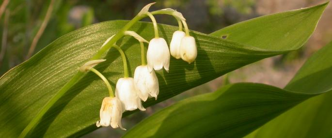 Lily-of-the-valley - Philip Precey - Philip Precey