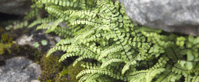 Maidenhair spleenwort - Tom Marshall - Tom Marshall