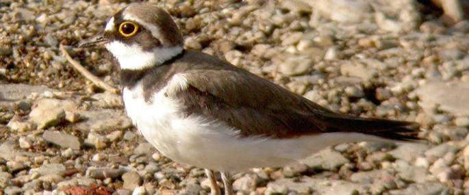 Little ringed plover - Dave Appleton - Dave Appleton
