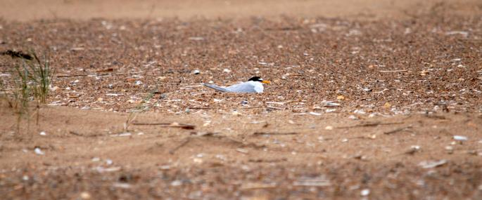 A nesting little tern - Amy Lewis - Amy Lewis