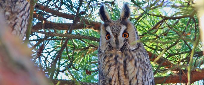 Long-eared owls have characteristic 'ear-tufts' - Stefan Johansson - Stefan Johansson