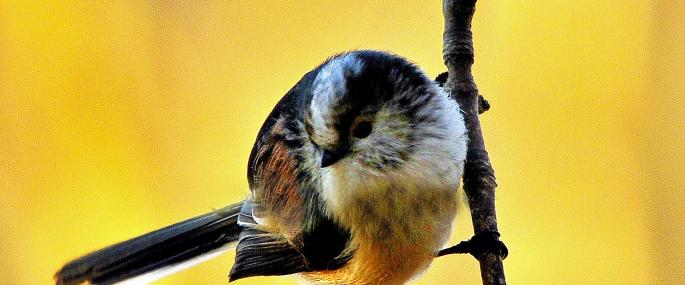 Long-tailed tit - Steve Waterhouse - Steve Waterhouse
