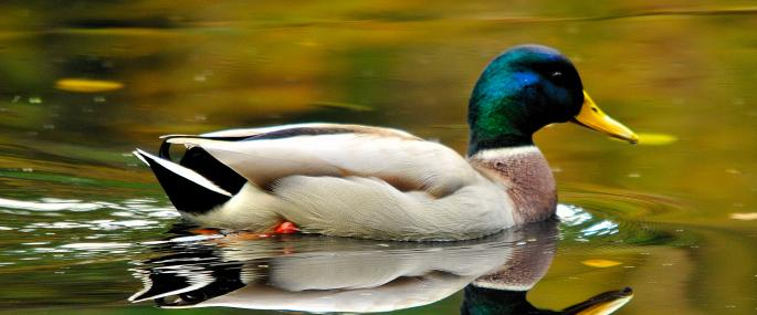 Male mallard - Steve Waterhouse - Steve Waterhouse