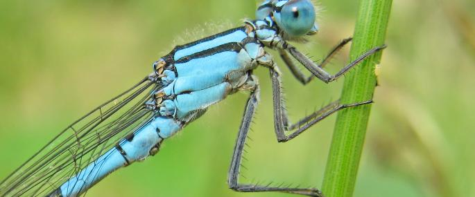 Male common blue damselfly - Rachel Scopes - Rachel Scopes