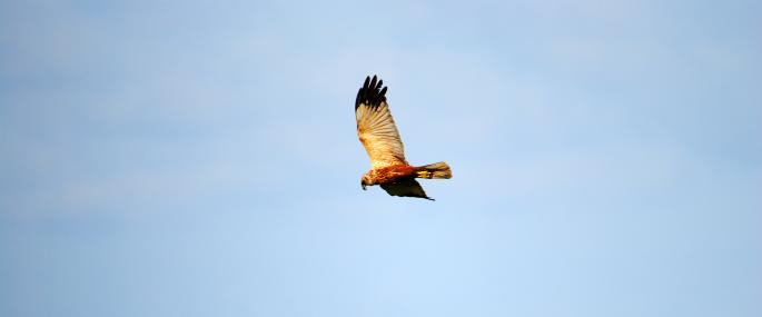 Male marsh harrier - Amy Lewis - Amy Lewis