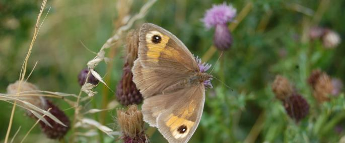 Meadow brown butterfly - Scott Petrek - Scott Petrek