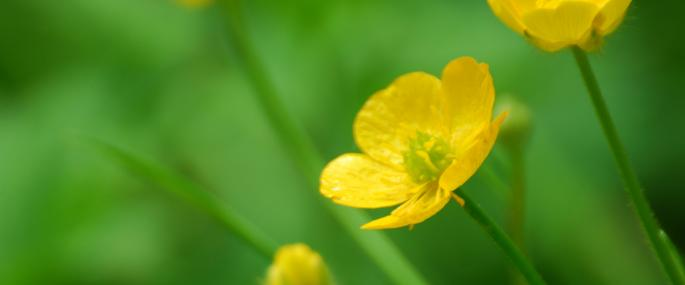 Meadow buttercup - Zsuzsanna Bird - Zsuzsanna Bird
