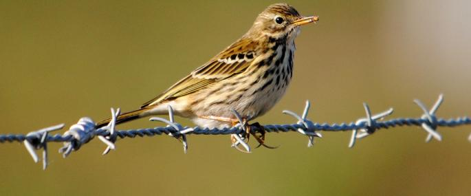 Meadow pipit with a small spider - Amy Lewis - Amy Lewis