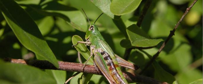 Meadow grasshopper  - Rosemary Winnall