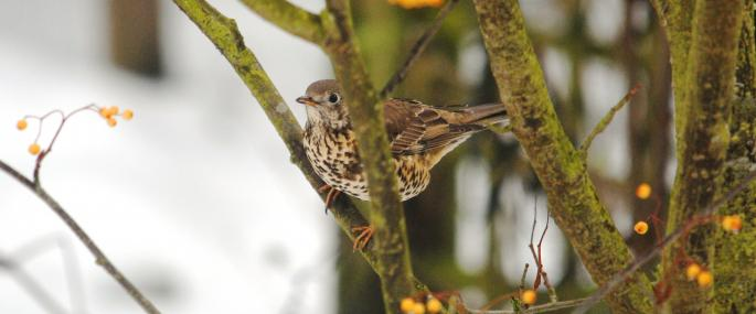 Mistle thrushes defend berry-bearing trees in winter - Amy Lewis - Amy Lewis