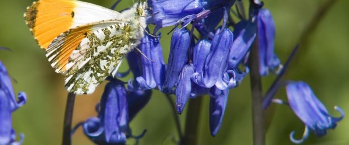 Male orange-tipped butterfly on bluebells - Bob Coyle - Bob Coyle