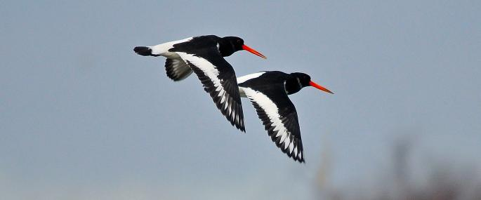 Oystercatchers in flight - Steve Waterhouse - Steve Waterhouse