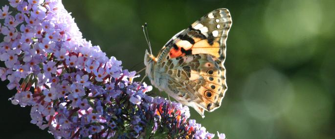 Painted lady butterfly on buddleia - Philip Precey - Philip Precey