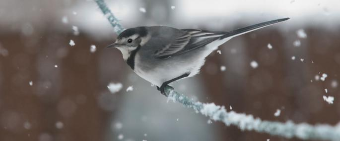 Pied wagtail in the snow - Bob Coyle - Bob Coyle