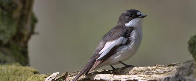 Pied flycatcher - Pete Walkden - Pete Walkden