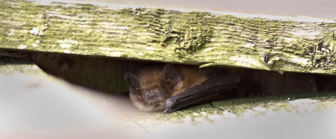 Pipistrelle bat - Harry Hogg - Harry Hogg