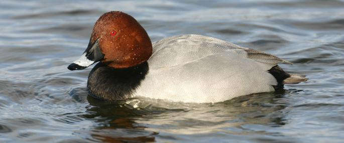 A male pochard - Tom Marshall - Tom Marshall