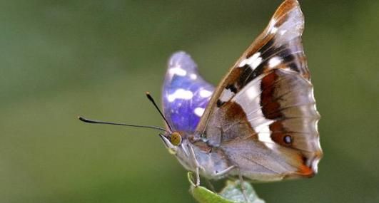 Purple emperor butterfly - Keith Warmington - Keith Warmington
