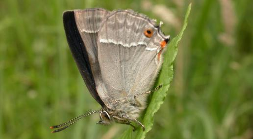 Purple hairstreak butterfly - Philip Precey - Philip Precey