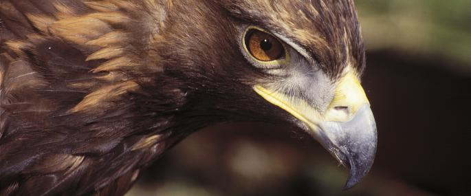 Golden eagle - Wildstock - Wildstock
