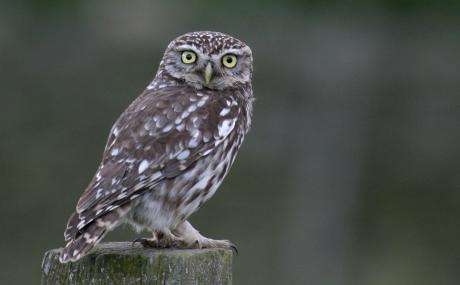 Little owls favour certain perches - Wildstock - Wildstock