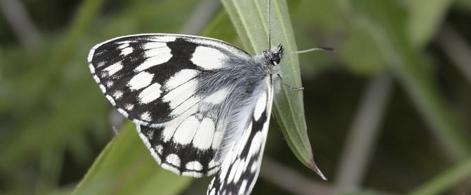 Marbled white butterfly - Wildstock - Wildstock