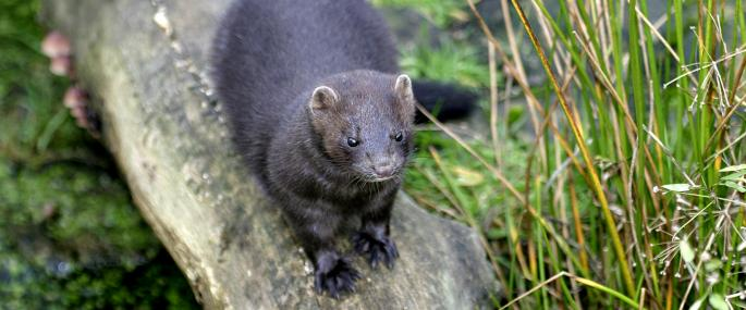 pictures-of-wild-black-mink