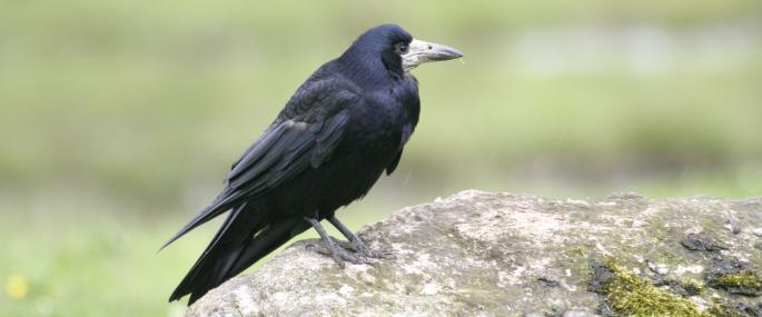 Rooks have distinctive grey bills - Wildstock - Wildstock