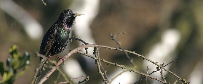 A starling in breeding plumage - Wildstock - Wildstock