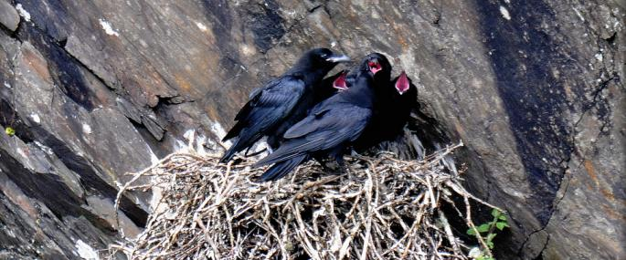 These young ravens are almost ready to leave the nest - Steve Waterhouse - Steve Waterhouse