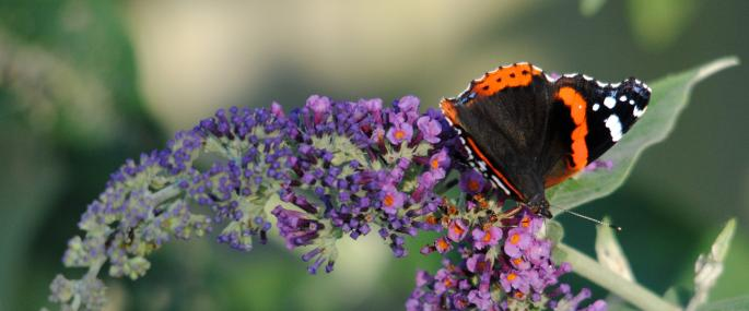 Red admiral butterfly feeding on buddleia - Amy Lewis - Amy Lewis
