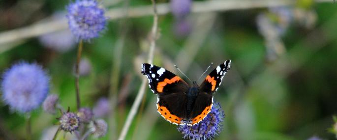 Red admiral butterfly on field scabious  - Amy Lewis - Amy Lewis