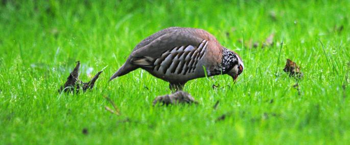 Red-legged partridge feeding - Amy Lewis - Amy Lewis