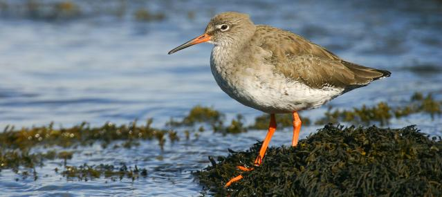 Redshank have distinctive red legs - Tom Marshall - Tom Marshall