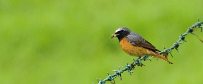 Redstart - Amy Lewis - Amy Lewis