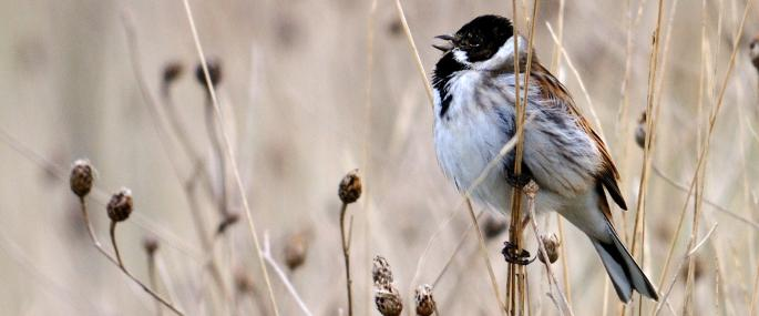 Male reed bunting in song - Amy Lewis - Amy Lewis