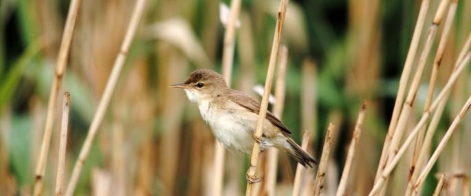 Reed warbler in a reedbed - Amy Lewis - Amy Lewis