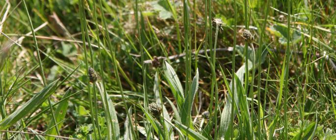 Ribwort plantain - Philip Precey - Philip Precey