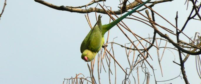 What Do Ring Necked Parakeets Eat