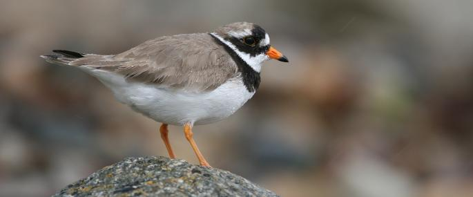 Ringed Plover In Winter
