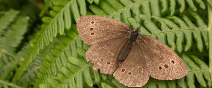 Ringlet butterfly - Philip Precey - Philip Precey