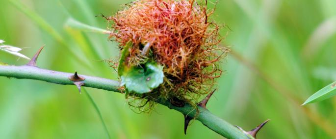 Robin's pincushion gall - Amy Lewis - Amy Lewis