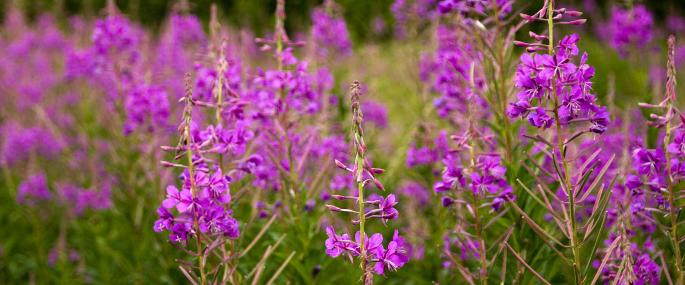 Rosebay willowherb - Paul Lane - Paul Lane