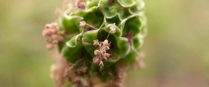 Salad burnet - Philip Precey - Philip Precey
